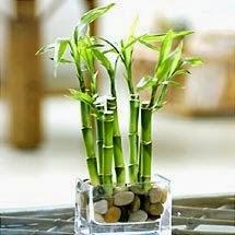 Bambu e em vaso - feng dhui