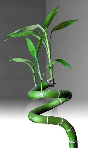 Bambu e feng dhui